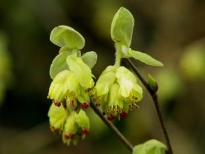 Ook vroeg: Chinese schijnhazelaar, Corylopsis sinensis