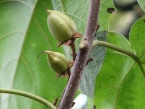 Chinese keizersboom, Pauwlonia tomentosa
