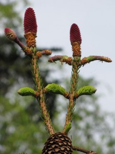 Picea abies Acrocona, fijnspar variant